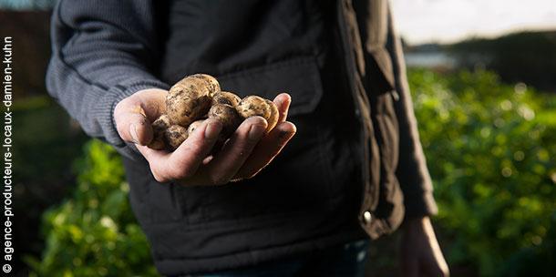pommes de terre dans les mains d'un paysan