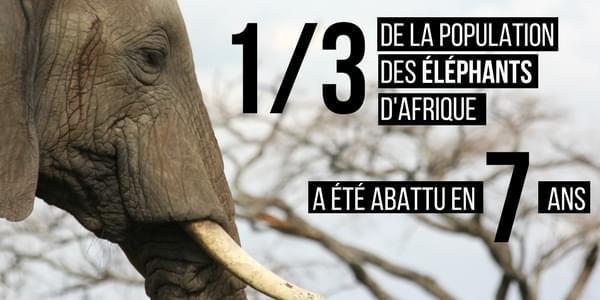 Elephant braconnages