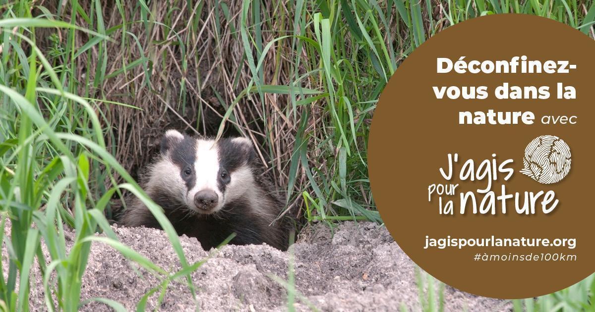 """Blaireau sortant de sa tanière, avec une inscription : """"Déconfinez-vous dans la nature avec jagispourlanature.org"""""""