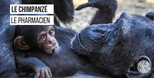 chimpanzé faits étonnants
