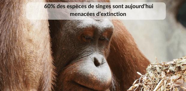 Singes et déforestation