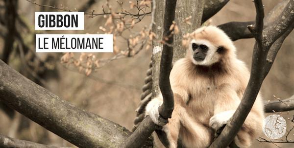 gibbon-fait étonnant