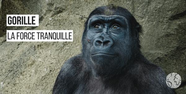 gorille faits étonnants