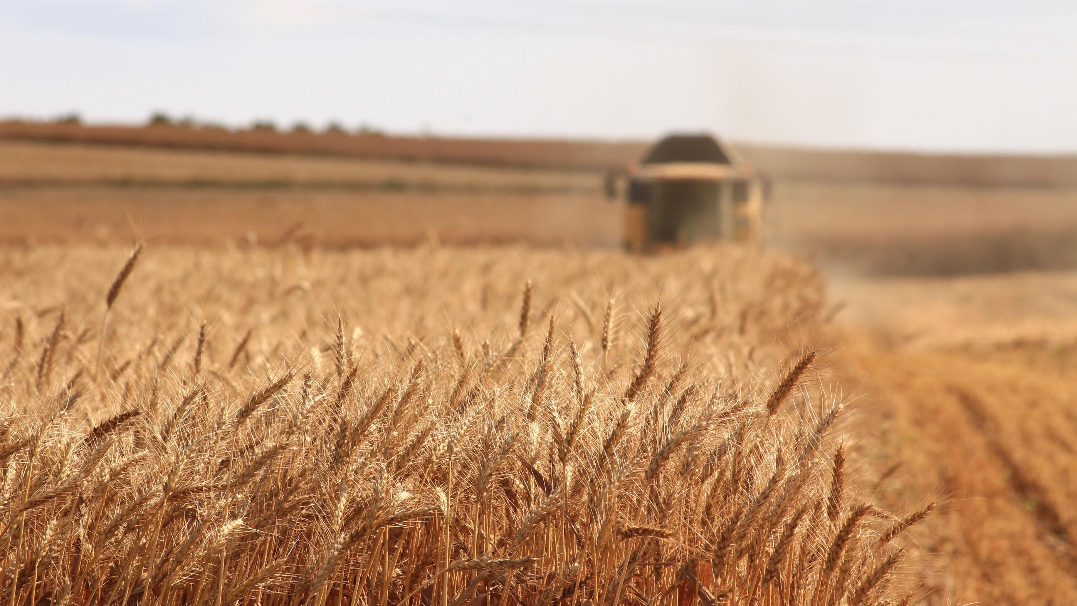 Champ de blé avec un tracteur